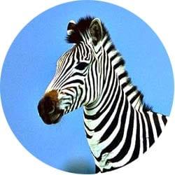 На сафари в Танзании в парке Тарангире можно встретить стаи зебр